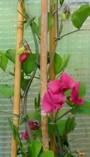 Lathyrus rotundifolia. No 13-