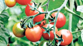 Losetto_tomato_ from_Noel_Kingsbury's_article_in_The_Telegraph_last_year