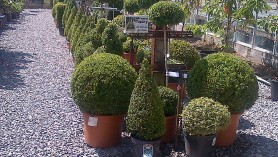Our_Topiary_has_had_a_haircut