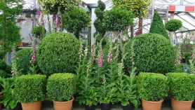 Topiary at Downside