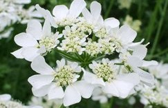 Orlaya grandiflora will flower throughout the summer.  Good crop available here at Downside Nurseries from May.