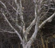 Image of Silver Birch - perfect for winter gardens