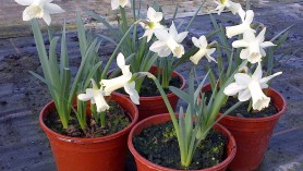 Narcissus Snow Baby - a new plant at Downside