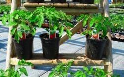 Tomatoes at Downside Nurseries May