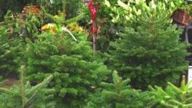 Christmas Trees WEB at Downside