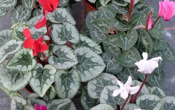 cyclamen at Downside Nurseries