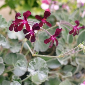 Pelargonium Geranium Sidoides available from Downside Nursuries