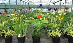 Wide variety of Hardy Herbaceous Perenials. Grasses and iris 961
