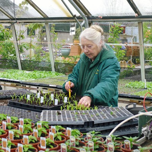Downside Nursery's owner, Lorraine Young planting out herbs