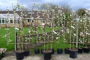 Tree Candelarbra trained Apples Granny Smith and Jonagold and Pears Williams Bon Credien 766