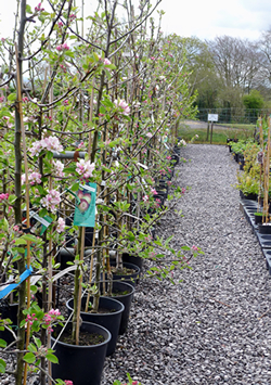 Fruit trees in pots - ready for planting