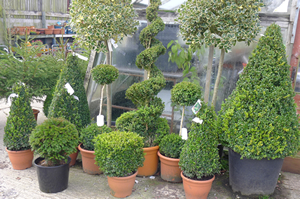 Selection of Box plants and topiary