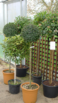 Box trees, great for topiary