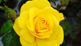 Golden_Wedding_Rose_ - Hybrid _Tea