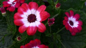 Cineraria_for_fabulous_February_colour