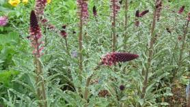 Monty Don's Chelsea choice plant Lysimachia Beaujolais