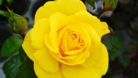 Golden Wedding Hybrid Tea Rose