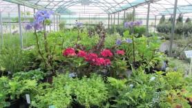 Hydrangea Macrophylla Merveille Sanguine & Hydrangea Macro Zorro (blue), Sweet Woodruff herb & Dryopteris filixmas Cristata 010814