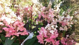 Hydrangea paniculata Pinky-Winky
