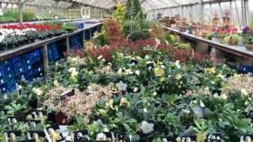 Hellebores, hebe, skimmia & conifers WEB Nov14