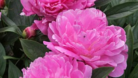 Image of Itoh Peony (thanks to RHS)