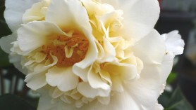 Camellia Japonica Brushfield Yellow at Downside Nurseries