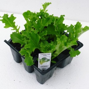 Green Can Can Lettuce at Downside Nurseries