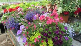 Hanging Baskets at Downside Nurseries