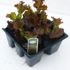 Lolllo Rosso Lettuce at Downside Nurseries 017