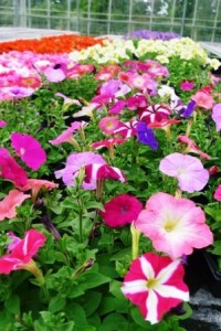 Pack Petunias at Downside Nurseries