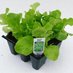 Salad Bowl lettuce at Downside 015 web