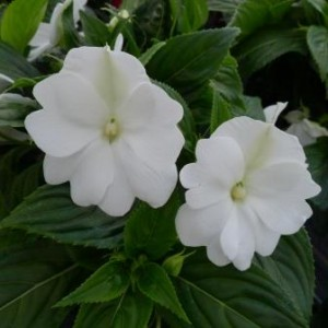 New Guinea Impatiens at Downside Nurseries