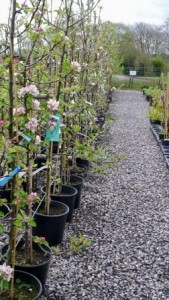 fruit trees at Downside Nurseries