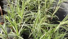 Image of Carex plyllocephala Whirling Sparkler