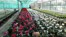 Cyclamen at Downside are ideal for winter planters
