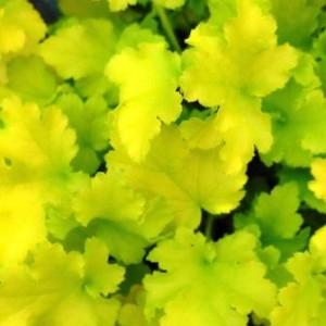 Heuchera Lime Ricky 037 web