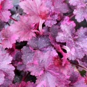 Heuchera Midnight Rose web 038