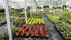 Image of Heuchera in many colours at Downside Nurseries