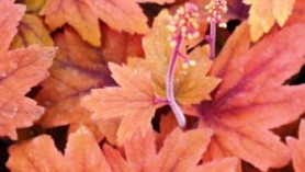 Image of Heucherella Sweet Tea