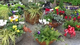 Gift Planters at Downside Nurseries at Upper Westwood near Bradford on Avon