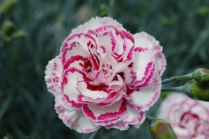 Gran's Favourite - one of the Garden Pinks available at Downside Nurseries
