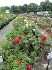 Image of red roses at Downside Nurseries