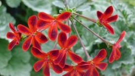 Image of specialist nurseries Downside's Pelargonium ardens
