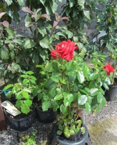 Image of ruby rose at Downside Nurseries
