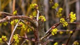Cornus mas - One of the bee-friendly plants at Downside Nurseries