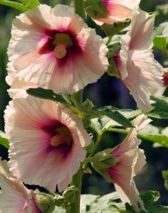 Hollyhock-single-at-Loseley-Park-Lisa-Cox-Garden-Designs