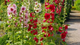 Hollyhocks-at-Loseley-Park-.-Image-by-Lisa-Cox