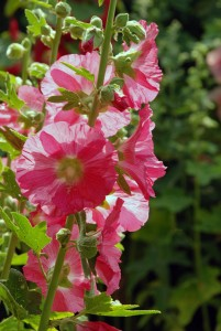Pink-hollyhock-at-Loseley-Park-Lisa-Cox-Garden-Designs