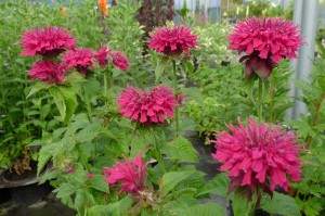 Monarda Fireball at Downside Nurseries