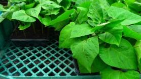 Runner Beans in May at Downside Nurseries 012 web